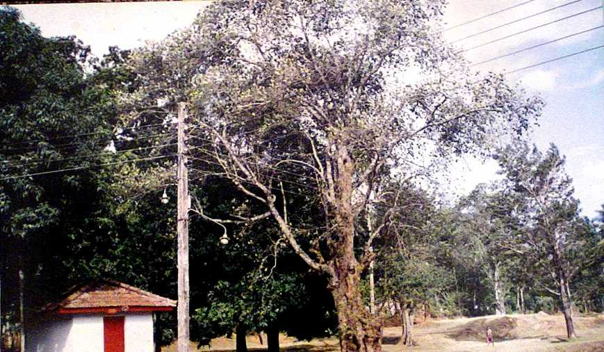 sacred Jack tree in Uggal Aluthnuwra