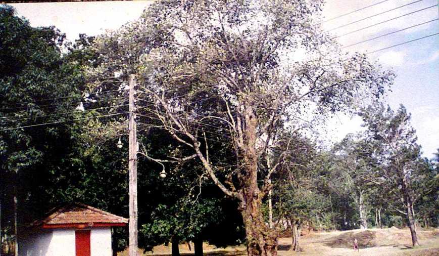 sacred Jack tree in Uggal Aluthnuwra